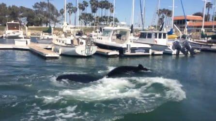 Si perde tra le barche al porto: il sorprendente incontro con la balena che viene poi liberata