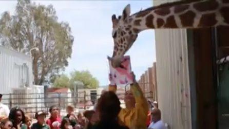 La giraffa pittrice dipinge davanti al suo pubblico