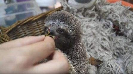 Tutta la tenerezza del piccolo bradipo che mangia le foglioline