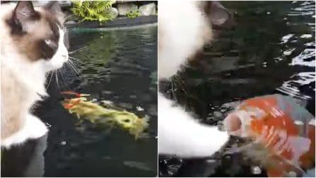 Il gatto e una grossa carpa giocano insieme: resterete a bocca aperta