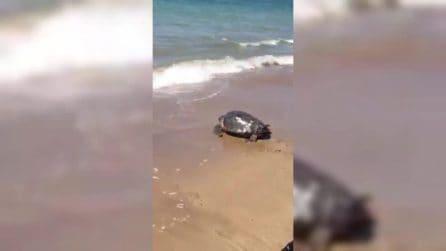 La tartaruga viene liberata dopo le cure: Penelope torna in mare
