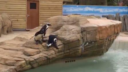"""Scivola dalla roccia e cade in acqua: il """"tuffo"""" imprevisto dell'adorabile pinguino"""