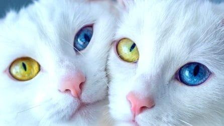 Si chiamano Iriss e Abyss, i gatti gemelli dono di Madre Natura