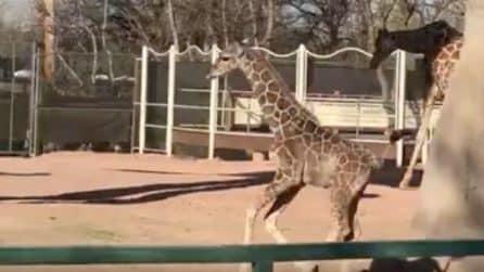 Il tenero cucciolo di giraffa corre e si diverte sotto gli occhi della mamma