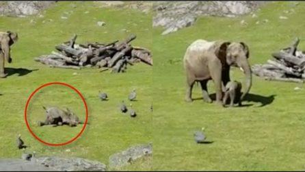 L'elefantino cade giocando e corre dalla mamma per farsi consolare: la scena è tenerissima