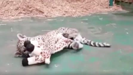 Il cucciolo di giaguaro più giocherellone che ci sia: si diverte un mondo con il peluche