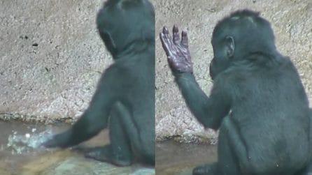 Il gorilla neonato tocca l'acqua per la prima volta: la tenera reazione