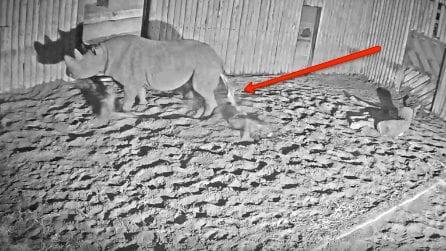 Così nascono i rinoceronti: il momento emozionante del parto