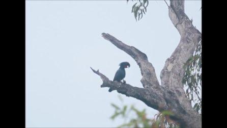 I pappagalli suonano la batteria: così usano rametti e gusci