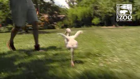 Prova a spiccare il volo ma è ancora piccolo: il baby fenicottero non si arrende