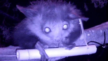Orecchie da pipistrello, faccia da volpe, occhi di gatto: l'animaletto che si rivela di notte