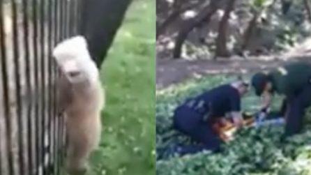 L'orso ha la testa intrappolata nel barattolo: il soccorso degli agenti per liberarlo