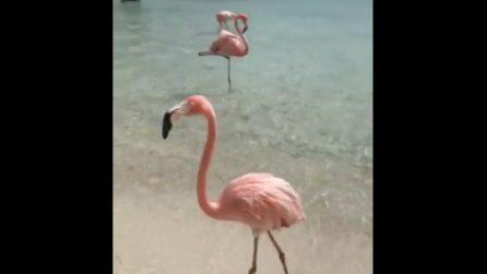 Il fenicottero cammina sulla spiaggia: le immagini dai Caraibi