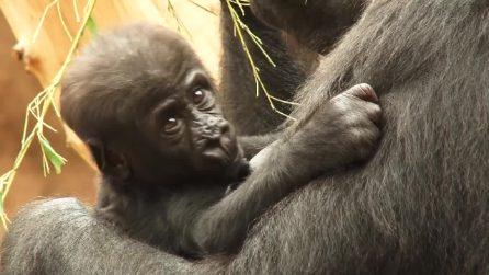 Mamma gorilla tiene stretta sé il suo cucciolo: il tenero quadretto