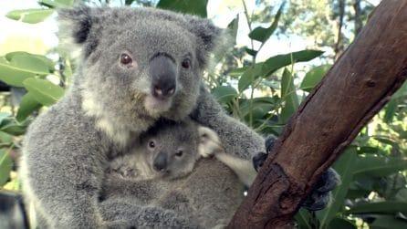 Il cucciolo è l'ultimo arrivato: quello che fa mamma koala è tenerissimo