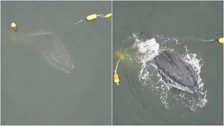 """Il """"gigante"""" spunta fuori dall'acqua: il meraviglioso salvataggio di una megattera"""