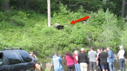 Vedono un orso a bordo strada e fermano le auto: il pericoloso comportamento dei turisti