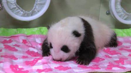 Baby panda nata a Tokyo, dal 28 luglio il concorso per il nome