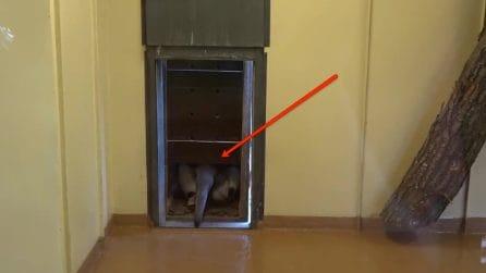 Dalla porticina sbuca il formichiere gigante: una nuova casa per l'animale