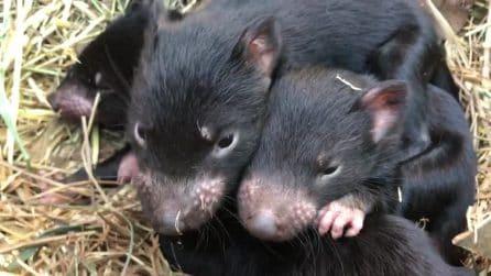 I piccoli diavoli della Tasmania giocano per la prima fuori dal marsupio della mamma
