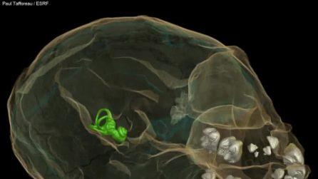 Antenato comune uomo-scimmia, ha 13 milioni di anni: ecco il cucciolo Alesi