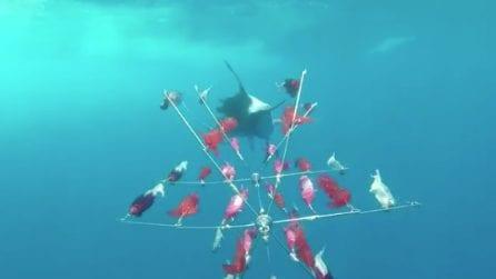 La spettacolare corsa tra il pesce spada e la draga