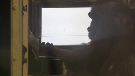 Gli scimpanzé giocano a sasso-carta-forbice