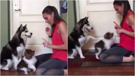 """Il cucciolo ha qualche difficoltà con il comando """"seduto"""": la reazione dell'husky è esilarante"""