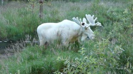 Svezia, filmato un raro alce bianco: le immagini virali