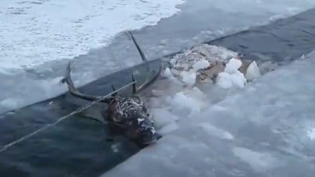 Lo trovano nel fiume ghiacciato: il cervo lotta tra la vita e la morte