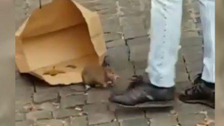 Roma, topo enorme sul marciapiedi: i cittadini tentano di rimediare