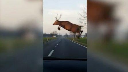 Il cervo appare all'improvviso e gli taglia la strada: l'incredibile salto
