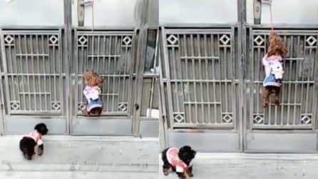 I due cani si avvicinano alla porta chiusa, ciò che riescono a fare è assurdo: la scena esilarante