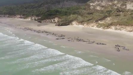 Spiaggiate 145 balene pilota in Nuova Zelanda, sono tutte morte. Molte uccise con l'eutanasia