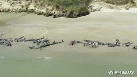 In Nuova Zelanda spiaggiamento di massa di 150 balene pilota