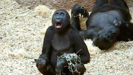 La strana espressione del gorilla: quello che fa è esilarante