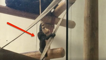 Che abilità: il cucciolo di gorilla si arrampica sulla corda e raggiunge la mamma