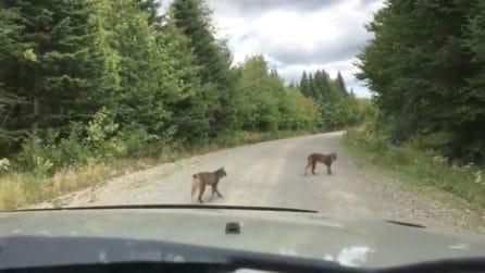 """Due """"grossi gatti"""" le tagliano la strada: quando capisce cosa sono non crede ai suoi occhi"""