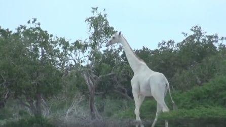 Perché esistono alcune giraffe completamente bianche: il rarissimo avvistamento