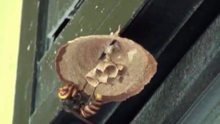 La regina costruisce da zero il nido: la telecamera spia il calabrone gigante asiatico all'opera
