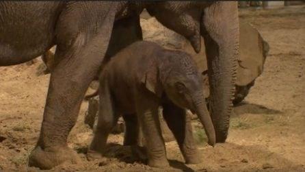Primi passi del cucciolo di elefante: la dolcissima scena