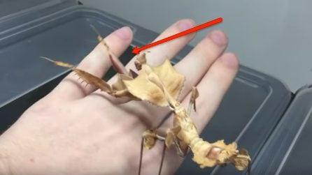 Uno strano animale sulla mano: il particolare movimento quando si sente minacciato