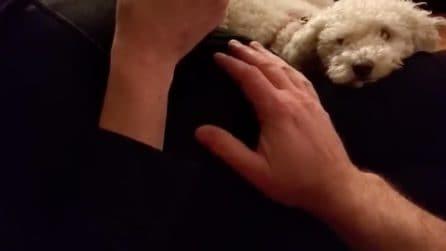 La padrona è incinta e il cane protegge il pancione: la reazione quando qualcuno si avvicina