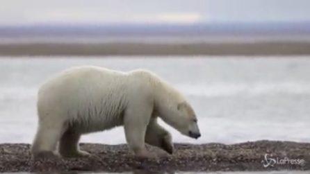 Alaska, sessanta orsi polari invadono un villaggio in cerca di cibo