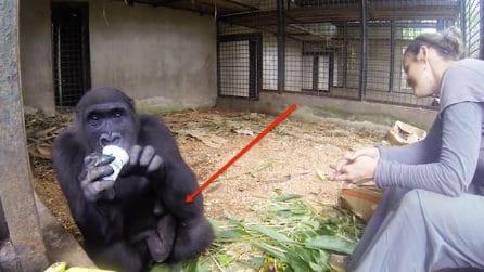 """La madre fu uccisa da uomini senza scrupoli: il gorilla adesso """"nasconde"""" una bellissima sorpresa"""