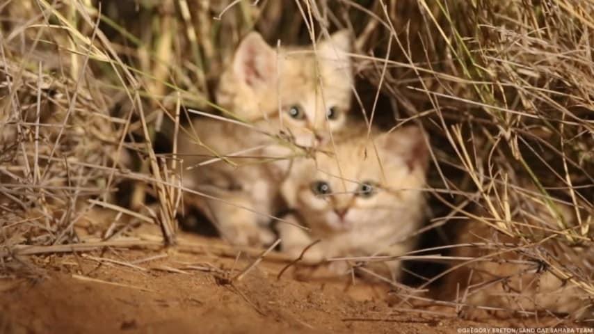 Il Filmato Dei Rarissimi Cuccioli Di Gatto Delle Sabbie