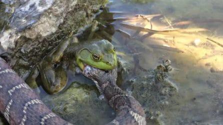 L'insolito pasto del rospo: l'anfibio viene filmato mentre divora un grosso serpente