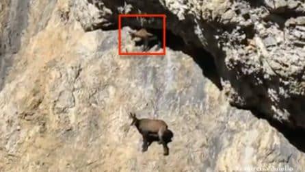 Livigno, un piccolo camoscio resta bloccato tra le rocce: la mamma accorre in suo aiuto