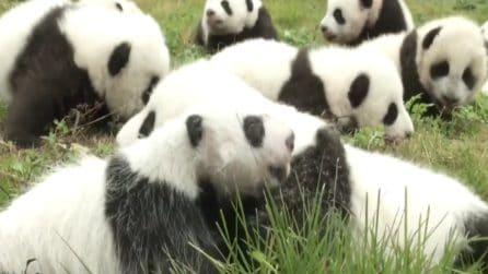 Prima uscita pubblica di 36 cuccioli di panda: le tenerissime immagini