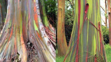"""L'arcobaleno in un albero: l'eucalipto dai """"mille colori"""""""